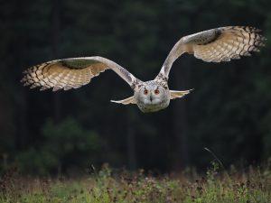 búhos alas