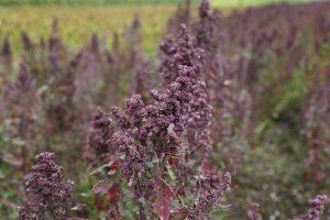propiedades y beneficios quinoa