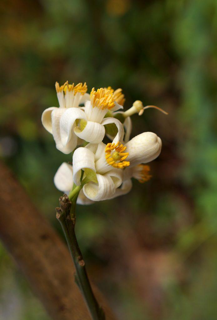 flor del pomelo