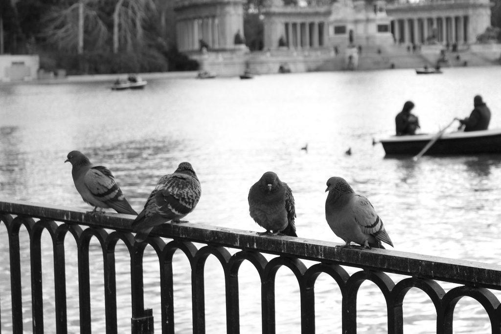 Madrid Lago Retiro y palomas