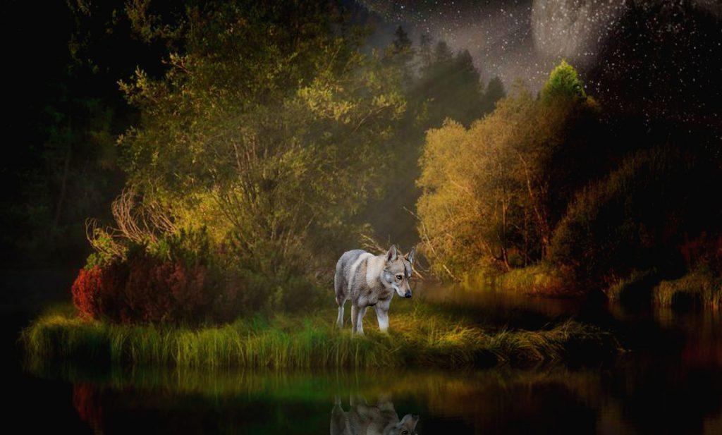 lobo, bosque, lago